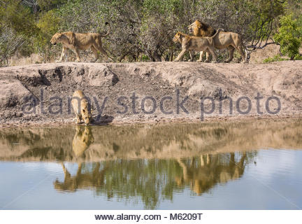 An pride of Lions, Panthera leo, walking to drink at a water hole. - Stock Photo