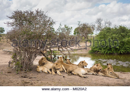 A pride of Lions, Panthera leo, resting in the shade near a water hole. - Stock Photo