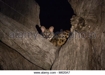 South African Large-spotted genet, Genetta tigrina, resting in a tree at night. - Stock Photo