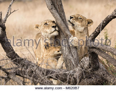 Two female Lions, Panthera leo, and a cub scratching a tree. - Stock Photo
