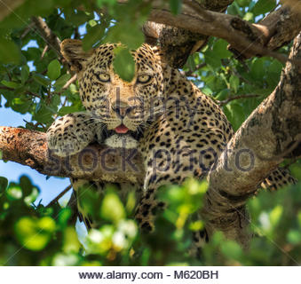 A Leopard, Panthera Pardus, rests in a tree. - Stock Photo