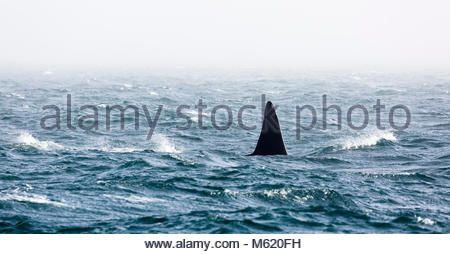 Dorsal fin of a large male Killer whale, Orcinus orca. - Stock Photo