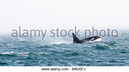 A male killer whale, Orcinus Orca, with a 6-ft tall dorsal fin. - Stock Photo