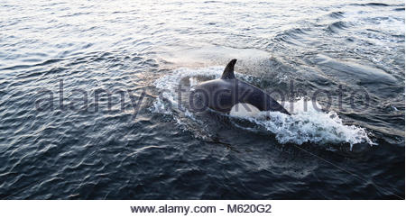 A killer whale, Orcinus orca, in pursuit of a harbor seal. - Stock Photo