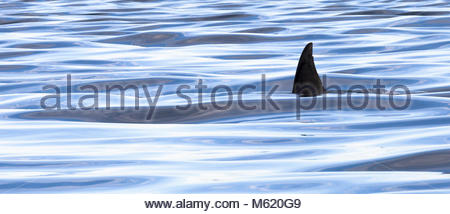 The dorsal fin of a killer whale, Orcinus orca. - Stock Photo