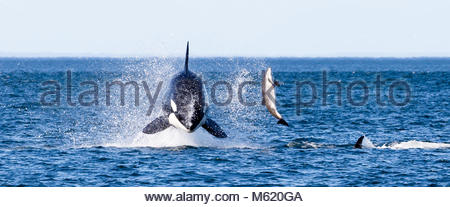 A breaching 7-ton female killer whale, Orcinus Orca, pummels a harbor porpoise. - Stock Photo