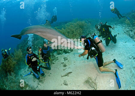 Scuba divers and Bottlenose dolphin (Tursiops truncatus) at caribbean coral reef, Curacao, Netherlands Antilles, - Stock Photo