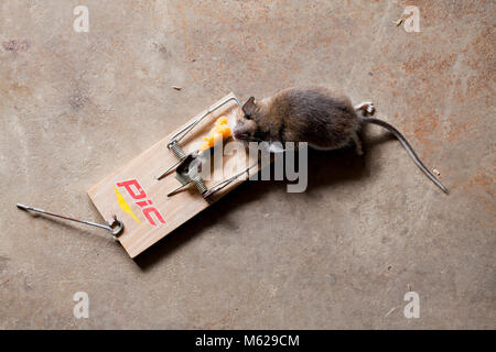 Dead common house mouse (Mus musculus) caught in mousetrap - USA - Stock Photo