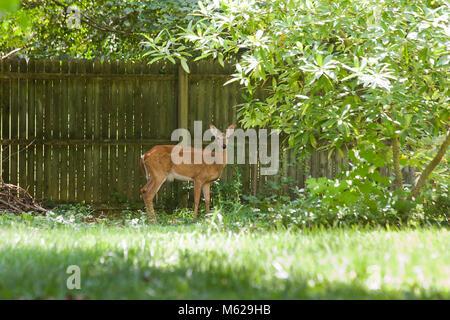 White-tailed deer (Odocoileus virginianus) near house fence - Virginia USA - Stock Photo
