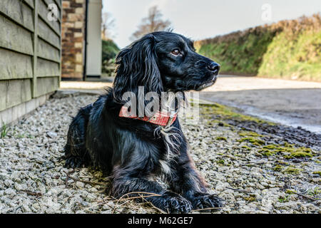 A horizontal dog portrait of a sharply rendered black pedigree Sprocker Spaniel lying down obediently looking dignified - Stock Photo