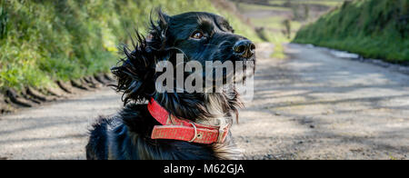 A horizontal panoramic portrait of a sharply rendered black windswept pedigree Sprocker Spaniel dog. The picture - Stock Photo