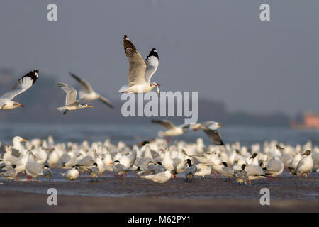 flock of migratory birds including terns and gulls flying on the beach at Alibaug, Konkan, Maharashtra, India - Stock Photo
