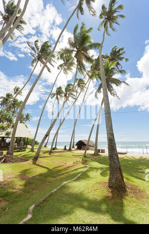 Koggala Beach, Sri Lanka, Asia - Huge palm trees on a meadow at Koggala Beach - Stock Photo