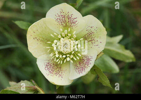 A stunning white Christmas Rose Helleborus plant. - Stock Photo