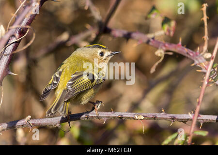 Goldcrest (Regulus regulus) Britain and Irelands smallest bird tiny round  looking with yellow orange crown on head - Stock Photo