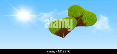 two hearts from clover leafs in sun shine - panorama - Stock Photo