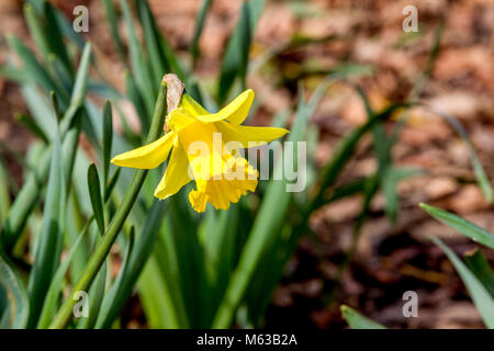 Daffofil. Narcissus pseudonarcissus (daffodil) growing wild in Abington Park, Norhampton. - Stock Photo