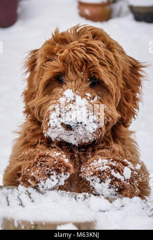 New Waltham, Cleethorpes, Lincolnshire, UK. 28th February, 2018. Young red haired frozen faced Cockapoo puppy enjoying - Stock Photo