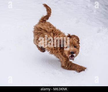 New Waltham, Cleethorpes, Lincolnshire, UK. 28th February, 2018. Young red haired frozen Cockapoo puppy in action - Stock Photo