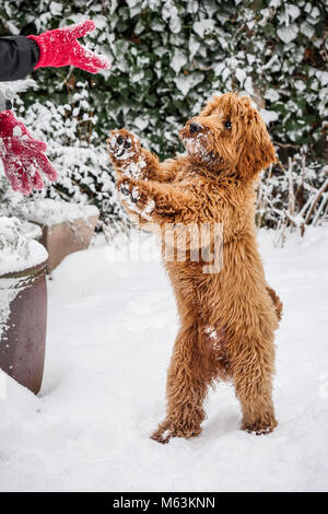 New Waltham, Cleethorpes, Lincolnshire, UK. 28th February, 2018. Young red haired frozen Cockapoo puppy playing - Stock Photo