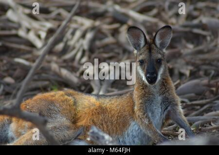 Red-necked wallaby lying on leaf litter - Stock Photo