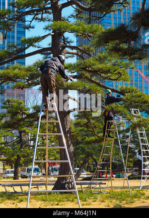 A pair of arborists, tree surgeons, at work in Tokyo Japan. A tall bonsai style Japanese Black Pine, Pinus thunbergii, - Stock Photo