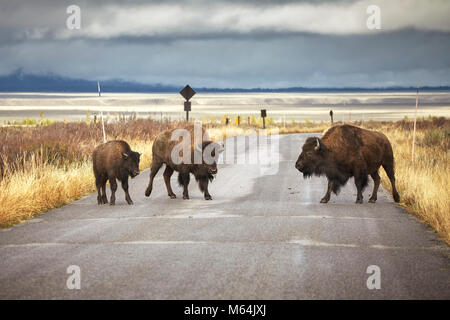 American bison family cross a road in Grand Teton National Park, Wyoming, USA. - Stock Photo