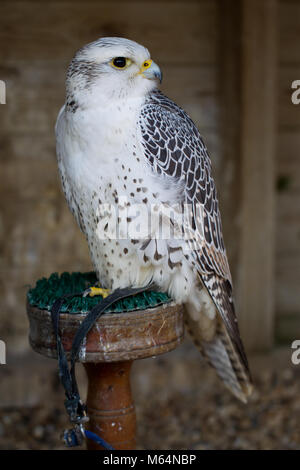White morph Gyr Falcon hybrid at Herrings Green Farm falconry centre - Stock Photo
