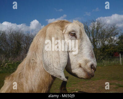 long floppy eared portrait of goat outside, side view and close up - Stock Photo