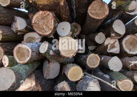 Wooden logs. Timber logging in autumn forest. Freshly cut tree logs piled up as background texture. - Stock Photo