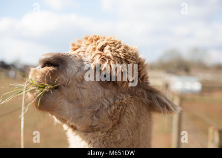 Close up of single lama showing character and personality on sunny day - Stock Photo