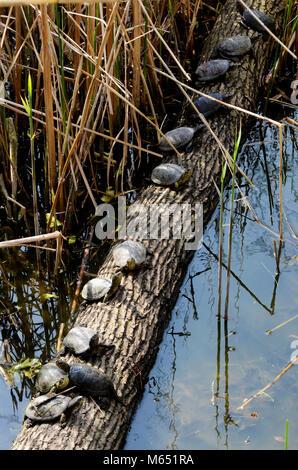 Sunbathing turtles near pond on spring day - Stock Photo