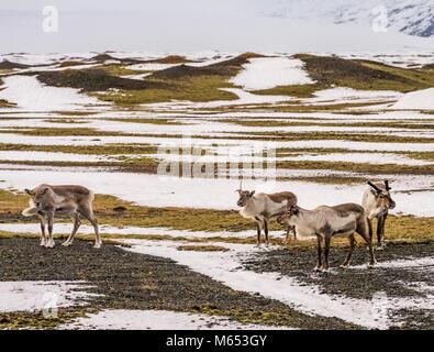 Herd of Reindeer grazing, South Coast, Iceland - Stock Photo