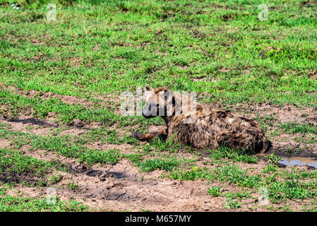 Spotted hyena or crocuta rests in savannah - Stock Photo