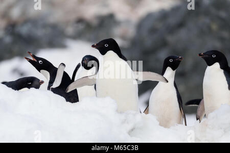A group of Adelie Penguins have a moment of interaction off the coast of Joinville Island in Antarctic Sound, Antarctica. - Stock Photo