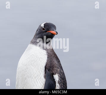 A Gentoo Penguin poses for a portrait on the beach of Brown Bluff on the Antarctic Peninsula. - Stock Photo