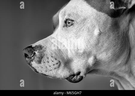 Profile of an American Pit Bull Terrier (Canis lupus familiaris) close-up - Stock Photo