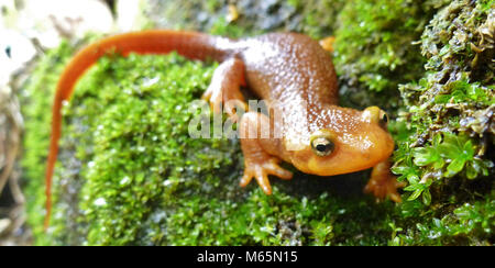 California Newt. Taricha torosa. If you come across this species of newt, be sure not to handle it! Its skin secretes a potent toxin that, while not deadly unless ingested, will leave a rash on your skin.