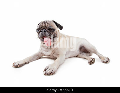 cute pug puppy with her tongue hanging out in the studio isolated on a white background - Stock Photo