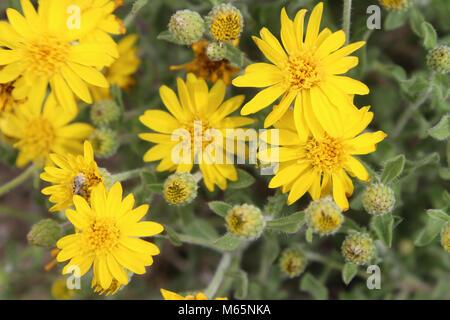 Hairy false goldenaster (Heterotheca villosa). 05-14-17 9152