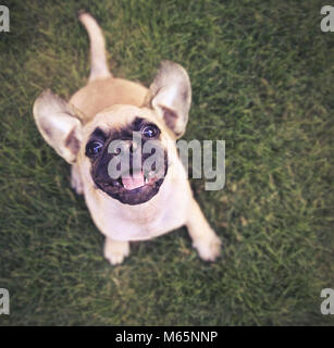 cute chihuahua pug mix puppy playing outside in fresh green grass toned with a retro vintage instagram filter - Stock Photo