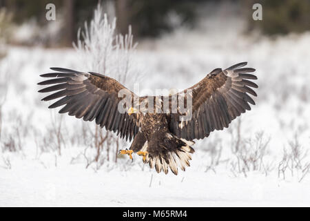 White tailed sea eagle shot from a hide in Sweden - Stock Photo