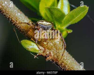 Araneus miniatus spider on branch, green leaves, spinning a web. - Stock Photo