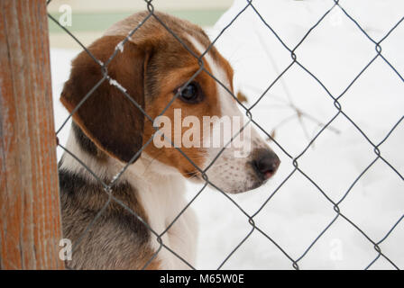A puppy of a Russian peggy hound (English foxhound) sits behind a net. Close-up portrait. The head is turned to - Stock Photo