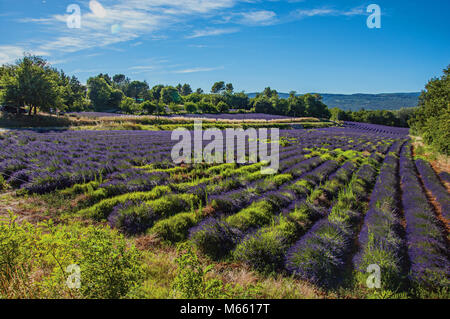 Panoramic view of field of lavender flowers under sunny blue sky, near the village of Roussillon. In the Provence - Stock Photo