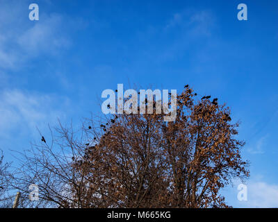 flock of crows sitting on the top of a tree covered with yellow leaves against the blue sky - Stock Photo