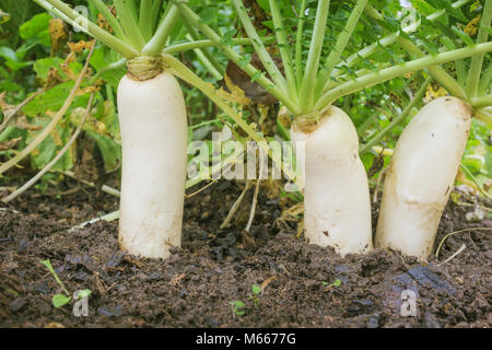 Japanese radishes, daikon, growing in a farm in october - Stock Photo
