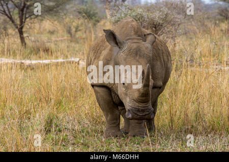Adult Southern White Rhinoceros (Ceratotherium simum) on the grasslands of Kenya,  Africa - Stock Photo