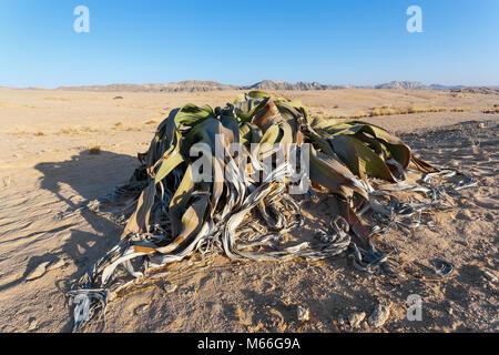 Welwitschia mirabilis, strange old prehistoric desert plant, Namibia - Stock Photo