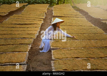 Woman drying tobacco in a field,Vietnam - Stock Photo